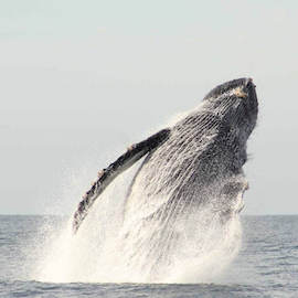 Beautiful Humpback Whales Breaching in Cabo