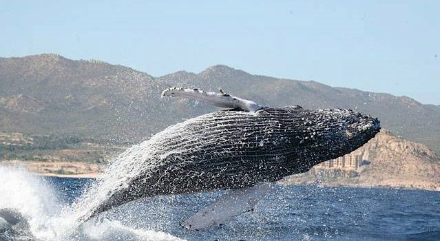 Cabo Whale Watching Tours in Beautiful Los Cabos Mexico