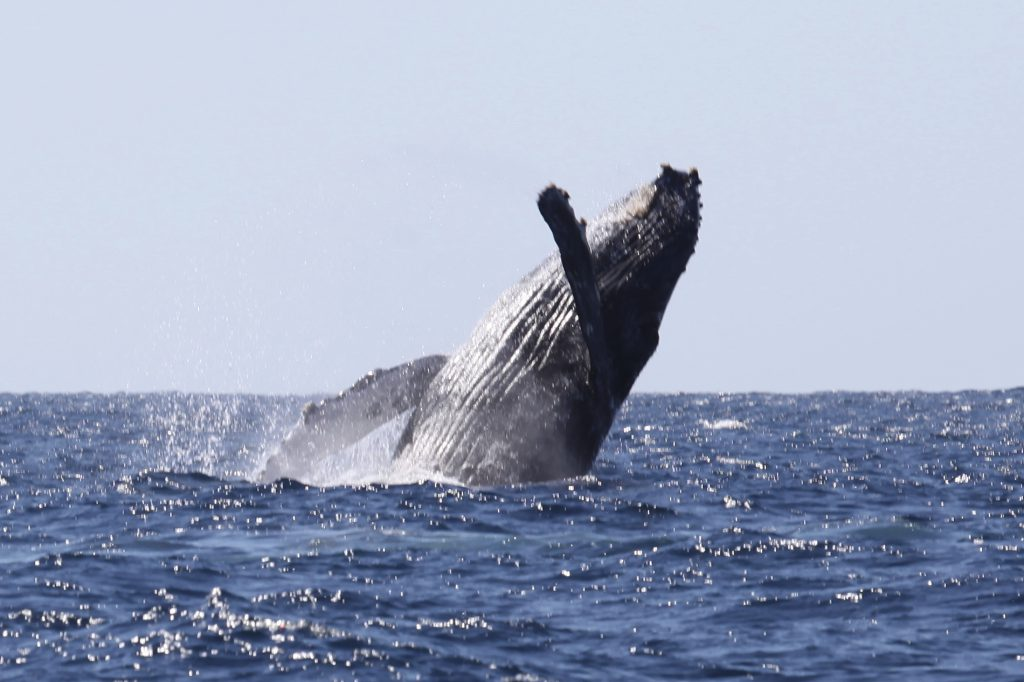 Humpback whale breaching during Cabo whale watching tour