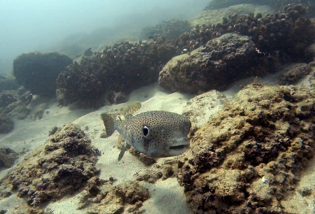 Spotted porcupine fish Photo by Dive Zihua
