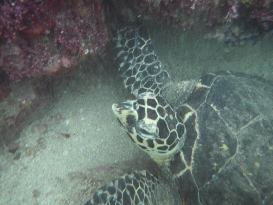 Look at the beak and the 2 pairs of prefrontal scales on this Hawksbill sea turtle