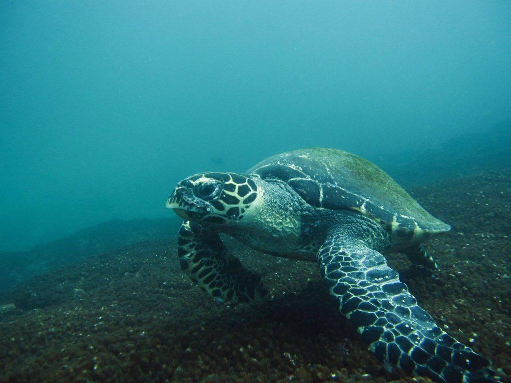 Hawksbill sea turtle at Manzanillo