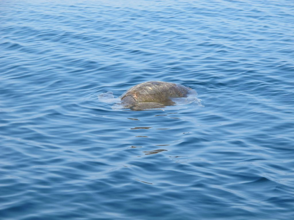 Olive Ridley sea turtle coming for air close to Morros de Potosi