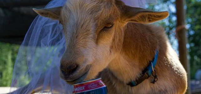 Goats and Wine